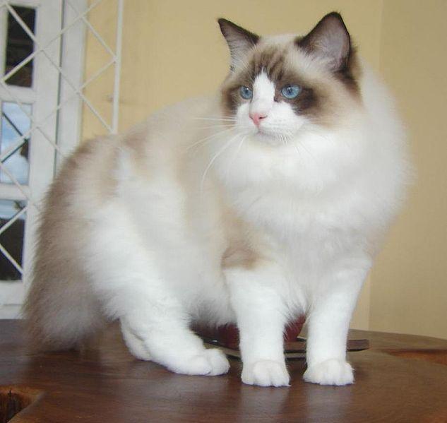 Ragdoll Autors: Bourebro Kaķu sugas.