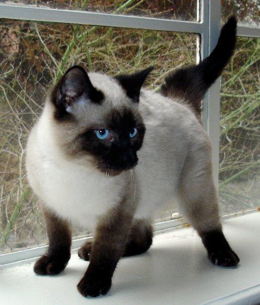 Siāmas Autors: Bourebro Kaķu sugas.