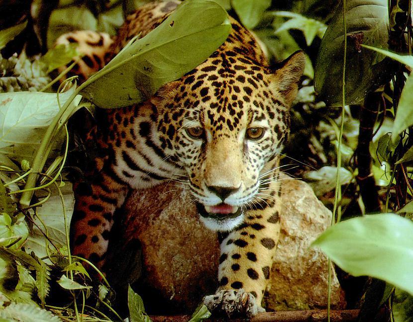 Nu tātad tāds ir jaguārs Autors: Perpetuja Hibrīd-zvēri no leopardiem un jaguāriem