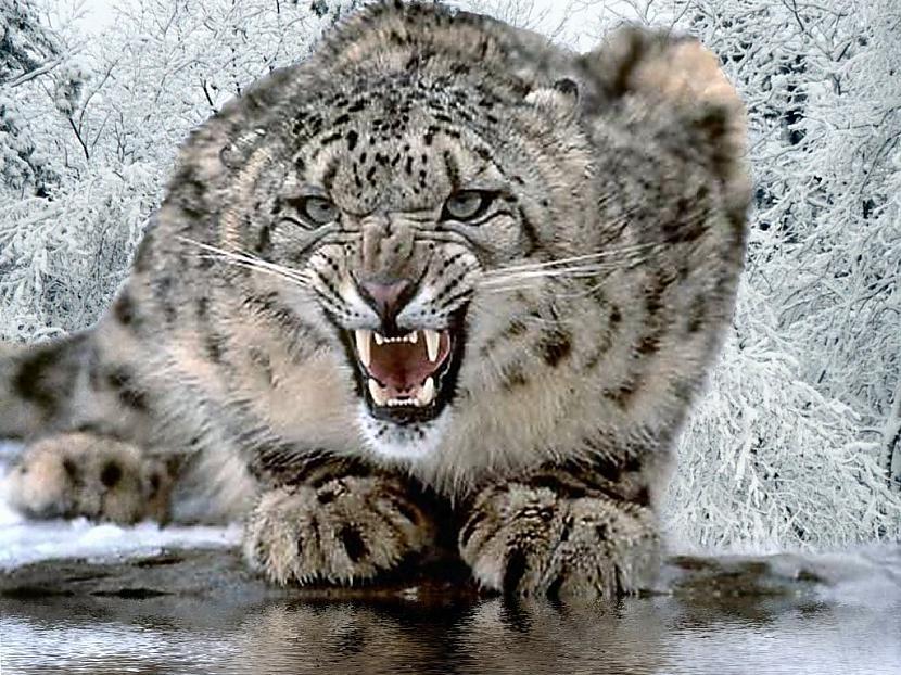 sniega leopards Autors: Perpetuja Hibrīd-zvēri no leopardiem un jaguāriem