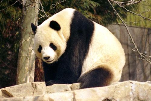 Autors: gangsteris pandas