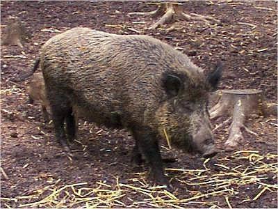 pig Autors: Lincho Some animals=)