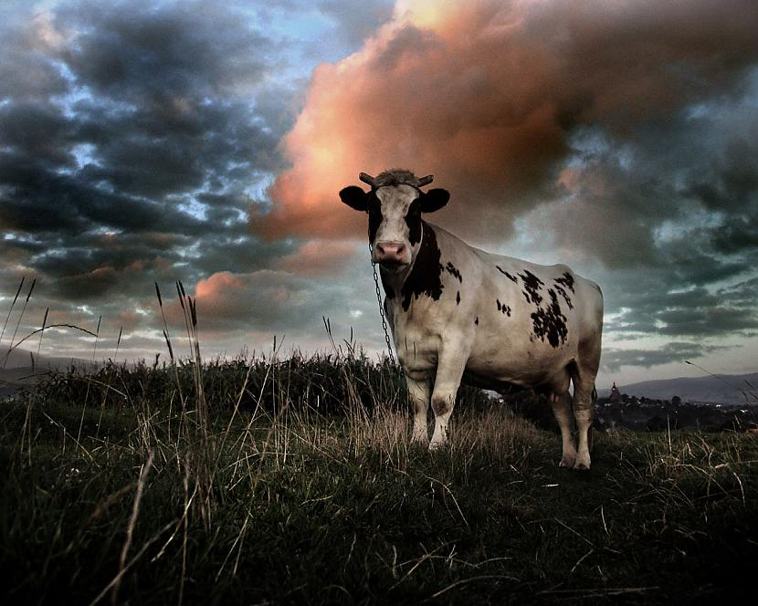 Govs savas dzīves laikā dod... Autors: kiksons 17 fakti par dzīvniekiem