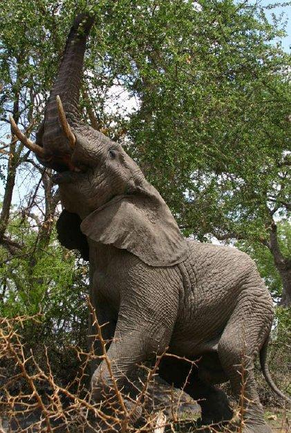Dzīvnieks ar ilgāko... Autors: Fosilija Dzīvnieki ar neparastām spējām!