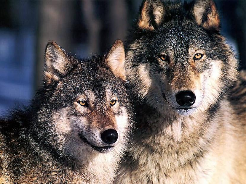 vilki ļoti rūpējas par savu... Autors: angelus3D skaisti dzīvnieki 1 (vilki)