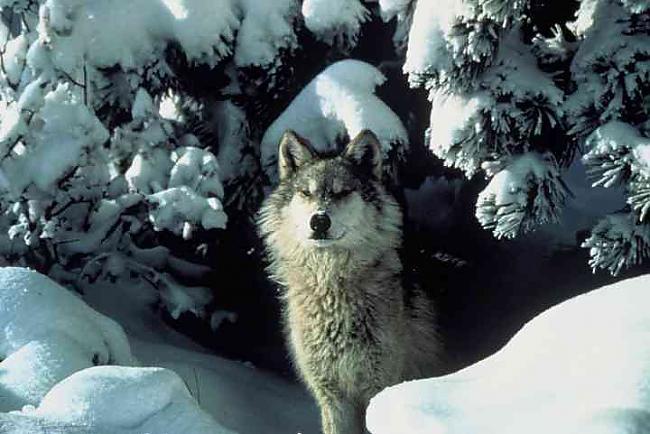 vilkiem patīk fočēties Autors: angelus3D skaisti dzīvnieki 1 (vilki)