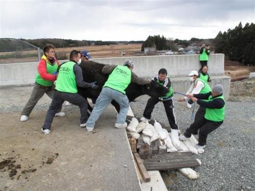 Govs kas izbēga no... Autors: Jeims0n Pazudušie dzīvnieki no Fukushimas