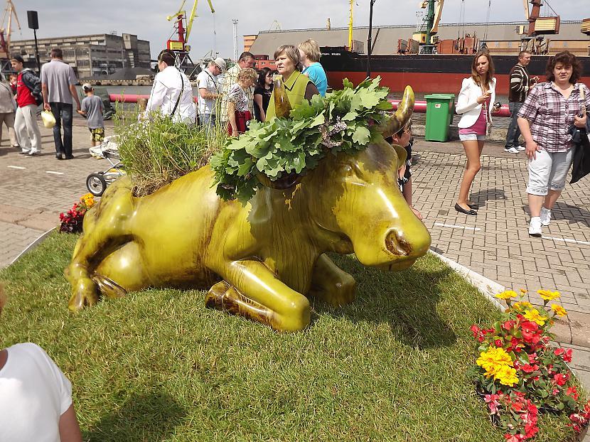 Ventspils Zāļu govs Ventspils... Autors: rutazeva ''Govju parāde'' Ventspilī.