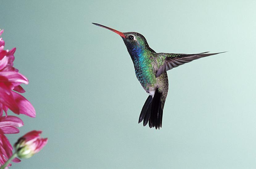 Kolibri ir vienīgais putns kas... Autors: Aurelius 10 fakti, ko iespējams nezināji 2.daļa