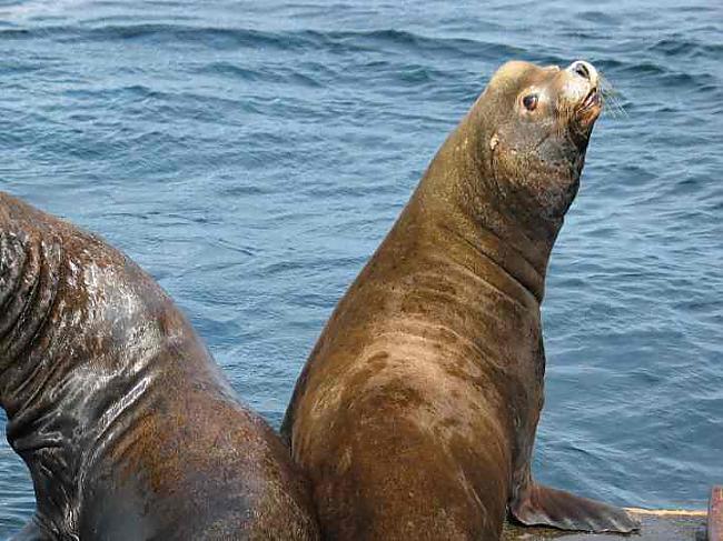 Jūras lauvas ļoti reti uzbrūk... Autors: bubina696 California Sea Lion
