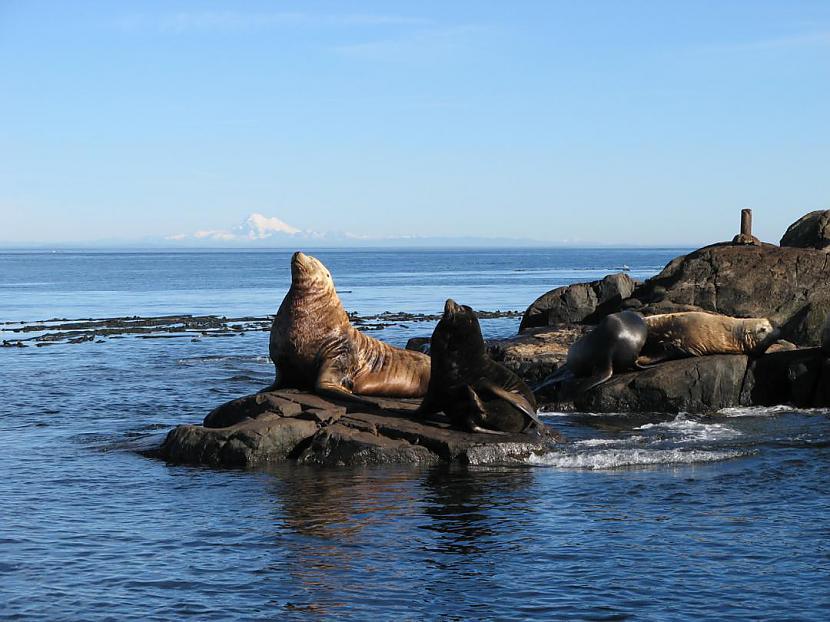 Jūras lauvas dzīvo sākot ar... Autors: bubina696 California Sea Lion