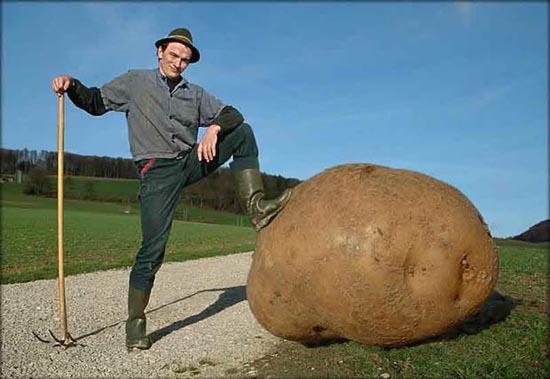 Milzīgākais kartupelis pasaulē Autors: chupaCHUPSnr1 Interesanti pasaules rekordi...