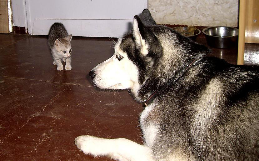 Planētas pirmā tikscaronanās... Autors: zobusāpes Apgāžam pieņēmumus... jeb ''Kā suns ar kaķi