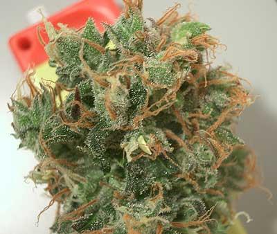 Kopumā marihuānai ir tendence... Autors: aris1188 Fakti par Marihuānu