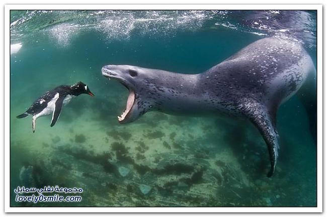Autors: MONTANNA Apēda pingvīnu
