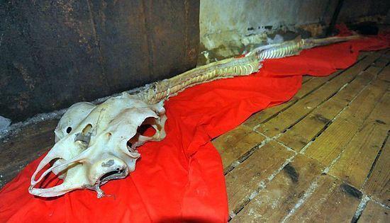 Kruzuļhaizivij kā scaronos... Autors: Radiowity Ķīnas piekrastē izskalotais'jūras pūķa'skelets pieder retai haizivij