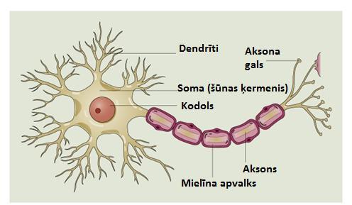 Neirons ir nervu scaronūna kas... Autors: Aurelius Kā rodas «bezfilma» un citi fakti par smadzenēm