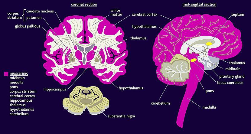 Smadzenēs nav sāpju receptori... Autors: Aurelius Kā rodas «bezfilma» un citi fakti par smadzenēm