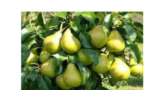 Bumbieru augļi satur unikālas... Autors: Ebija Bomineibla Dārzniekam noderēs!:)