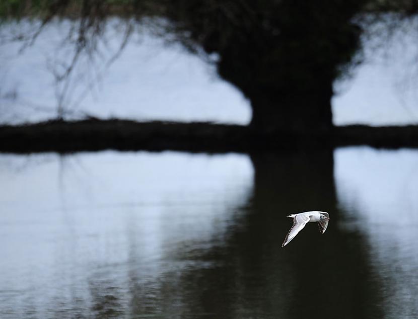 Kāds ūdens putns lido pāri... Autors: BodyBoard Attēli / Teksti - Dabas Pasaule