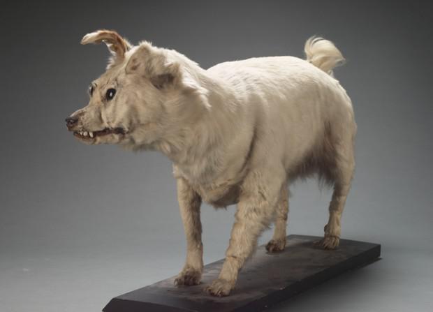 14 gs Jaunzēlandē ieveda Kuri... Autors: Raziels Izmirušas suņu šķirnes