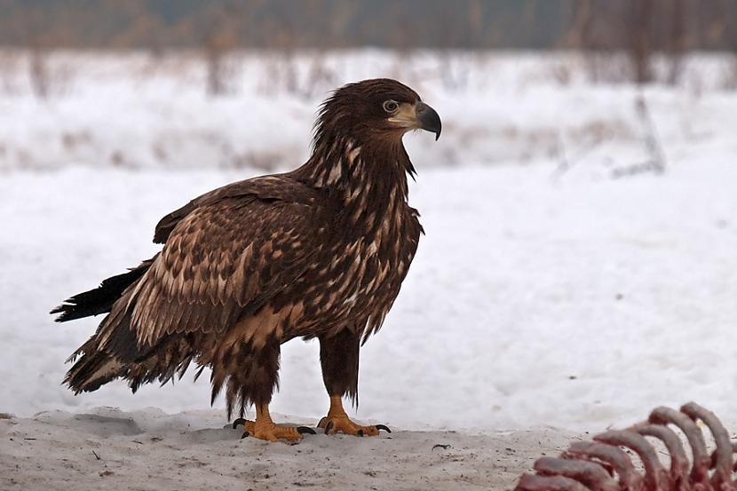 nbsp nbspMeklējot medījumu... Autors: Mao Meow Jūras Ērglis –Latvijā lielākais savvaļas plēsīgais putns.