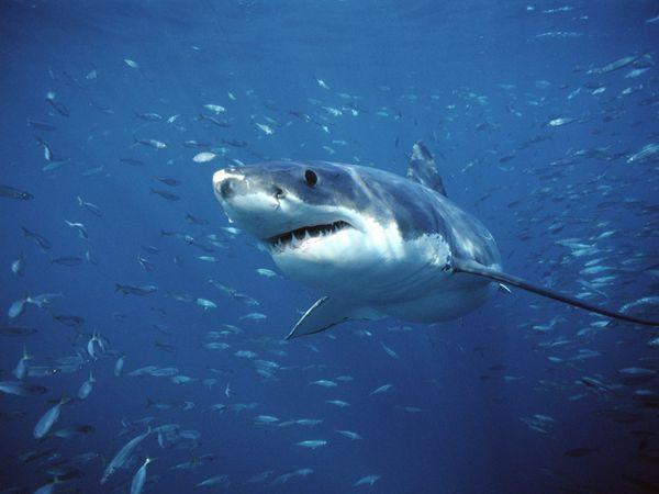 Autors: Fosilija Savvaļas dzīve !!! Lielā Baltā Haizivs !!! #2