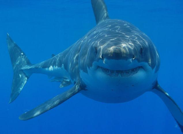 Haizivīm ir imunitāte pret... Autors: Cepuminsh002 Dažādi Fakti