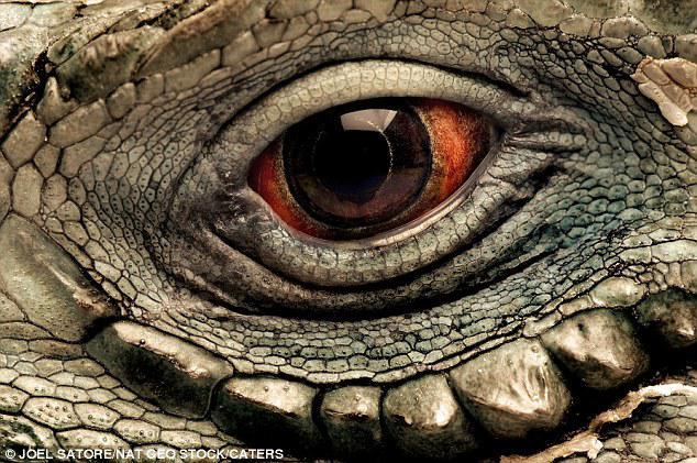Iguānas acs Autors: Tourist Unikālās acis