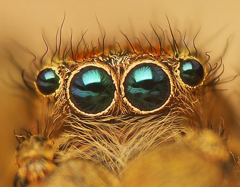 Lecējzirnekļa acis Autors: Tourist Unikālās acis