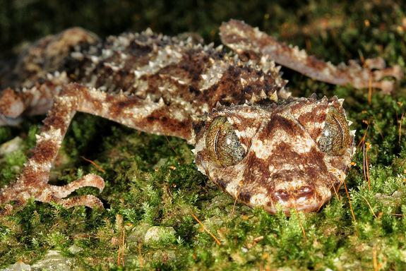 LeafTailed Gecko nbspgekons ar... Autors: Sanija Dāldere Dažas jaunatklātas sugas 2014