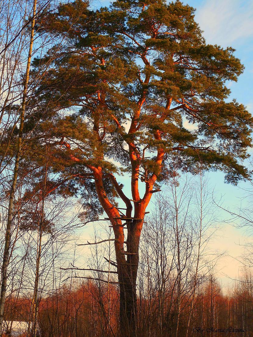 priede Autors: saule70 skaidrā ziemas dienā :)