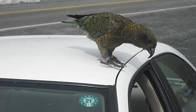 Jaunzēlandē dzīvo putni Zī Zea... Autors: mirdzumiņa2 Faktiņi