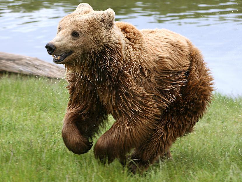 Lāčiem kājas ir līkas kaas dot... Autors: Kapteinis Cerība Interesanti Fakti Par LĀČIEM.