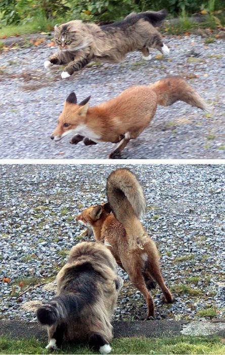 Norvēģu kaķis censcaronas... Autors: Lords Lanselots Neko sev mincīši!!