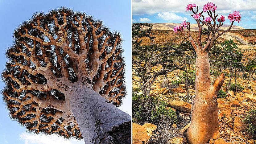 Sokotras sala jemena Socotra... Autors: im mad cuz u bad Elpu aizraujošas vietas uz Zemes