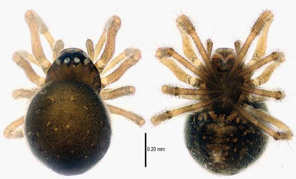 5 Mysmena WawuensisScaronis... Autors: Zirnrēklis Neparastākie zirnekļi #3