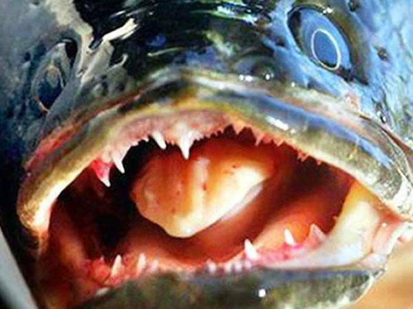 Čūskgalvjzivis spēj dzīvot un... Autors: twist 10 interesenti WTFakti