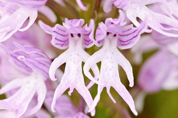 Orchis Italica Autors: Prāta Darbnīca Ziedu ilūzijas - augi, kas izliekas