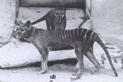 Tasmānijas tīģerisPēdējais... Autors: droop Izmirušie dzīvnieki