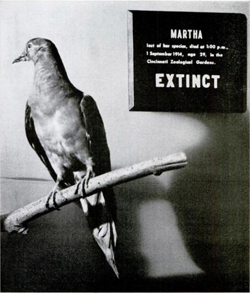 Passenger Pigeon pasta... Autors: droop Izmirušie dzīvnieki