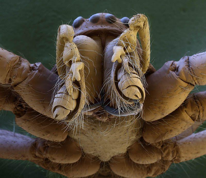 Zirnekļa galva Autors: droop Attēli ar elektronmikroskopu