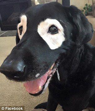 Kā izrādās suns ciescaron no... Autors: zeminem Pandusuns: suns ar retu ādas slimību, kas liek līdzināties pandai.