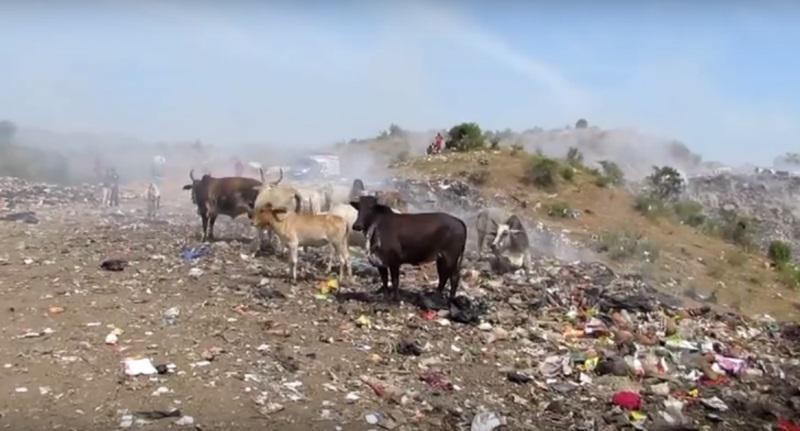 Acīmredzot govs kad tai tika... Autors: zeminem Viņi pavadīja 4 stundas izgāztuvē. Iemesls liks Tavai sirdij sarauties!
