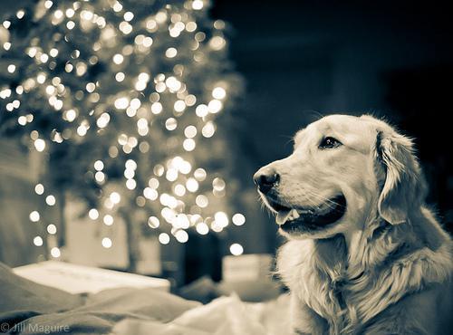 Svētku nosaukuma Ziemassvētki... Autors:  Kaķītis  Fakti  Par Ziemassvētkiem