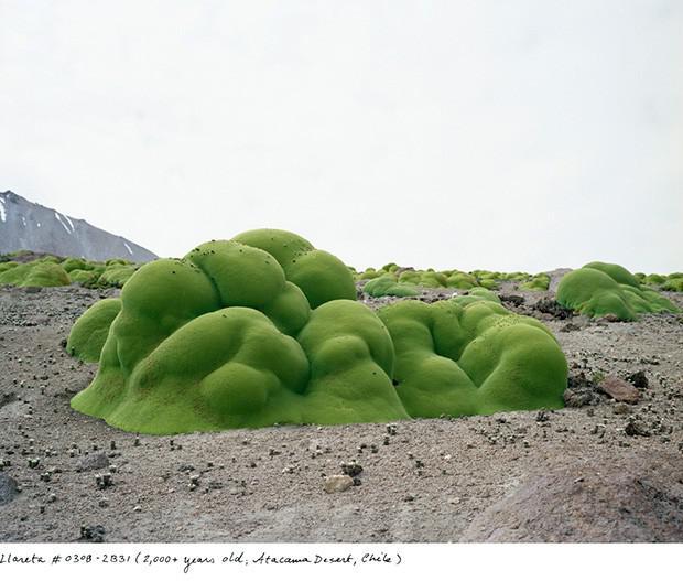 Jareta vairāk kā 2000 gadu... Autors: Fosilija Neparasti augi pasaulē