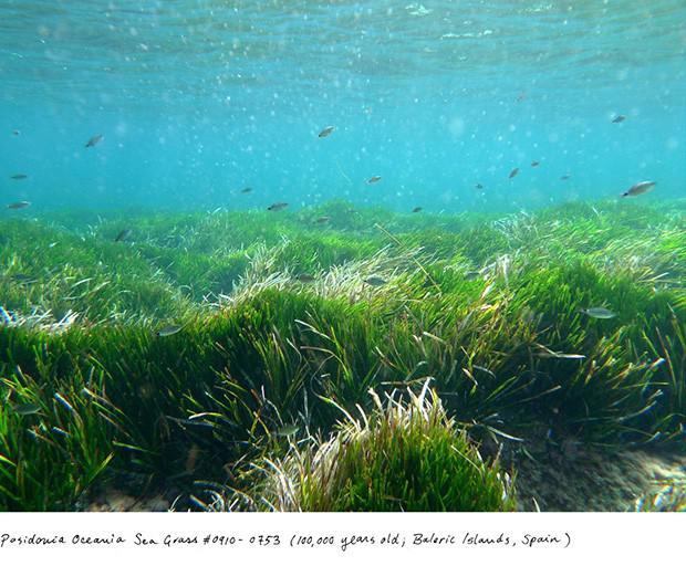 Posidonia Oceanica 100 000... Autors: Fosilija Neparasti augi pasaulē