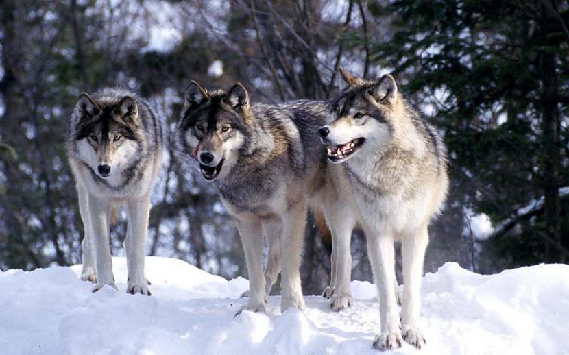 Kanibālisms vilku barā ir... Autors: Kapteinis Cerība Nelieli šokējoši fakti par vilkiem