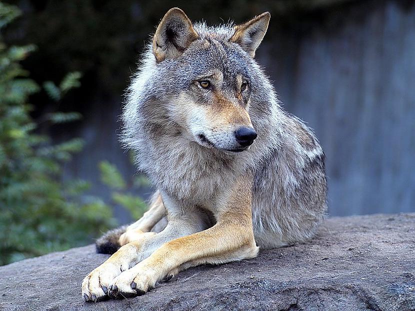 Sargājiet savus mājas suņus jo... Autors: Kapteinis Cerība Nelieli šokējoši fakti par vilkiem