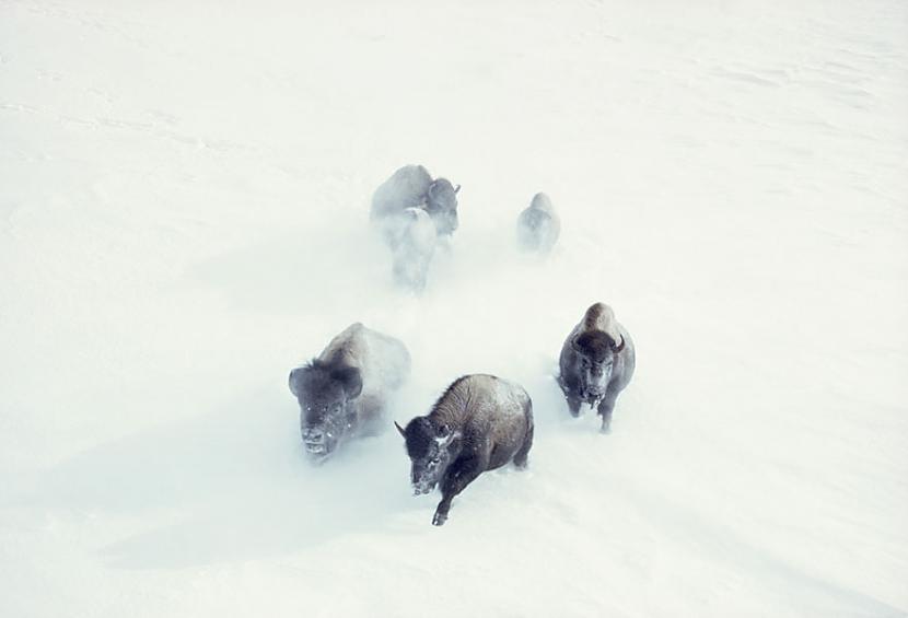 Bizoni skrien cauri sniegam... Autors: me guusta 16 agrāk nepublicēti foto no National Geographic arhīviem,kas aizraus elpu!